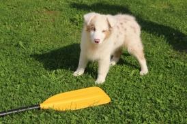 Талисман нашей компании и Chief Happiness Officer Пишкот испытывает весла со времен, когда еще был щенком.